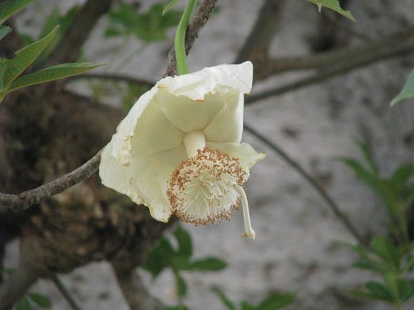 baobab en fleurs burkina faso. Black Bedroom Furniture Sets. Home Design Ideas